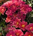 rosa celebration time