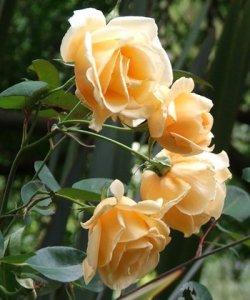 rosa lady hillingdon