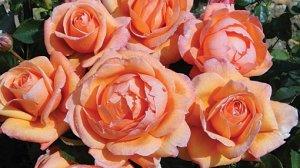 rosa lady marmalade