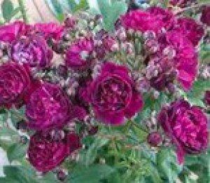 rosa perennial blue