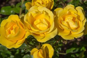 rosa rayon de soleil