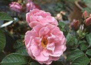 rosa sarah van fleet
