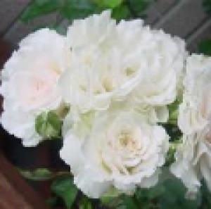 rosa sir galahad