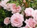 rosa the new dawn