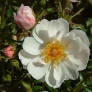 rosa avon