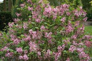 syringa blooomerang pink perfume