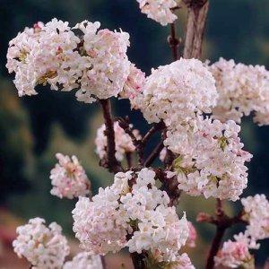 viburnum bodnantense charles lamont