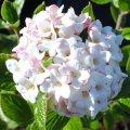 viburnum burkwoodii anne russell