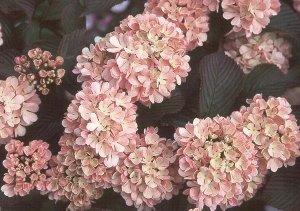 viburnum pink sensation