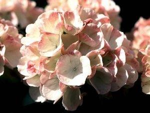 viburnum plicatum grandiflorum