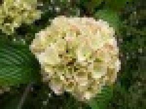 viburnum plicatum rosace