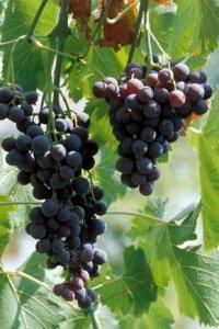 vitis vinifera moscato d'amburgo