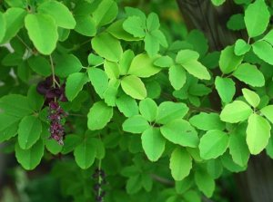 akebia pentaphylla