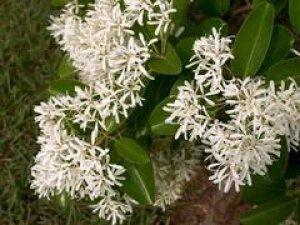 chionanthus retusus