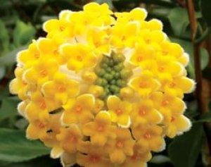 edgeworthia crysantha grandiflora