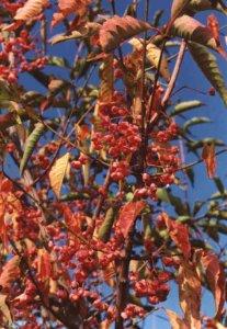 euonymus europaeus atropurpureus