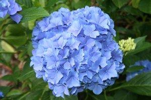 hydrangea blauer zwerg