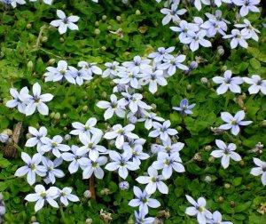 isotoma fluviatilis