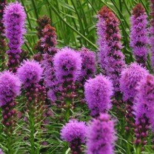 liatris floristan violet