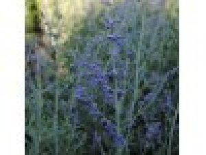 perovskia blue steeel