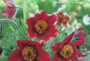 pulsatilla vulgaris red cloack