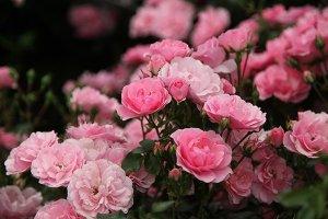 rosa bonica