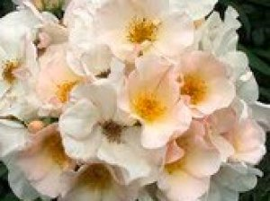 rosa sally holmes