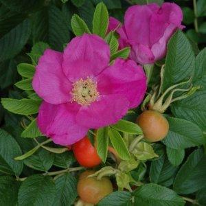 rosa scabrosa