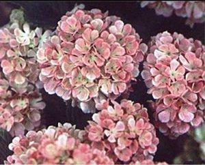 viburnum plicatum mary milton