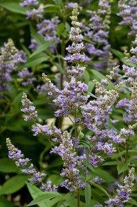 vitex latifolia