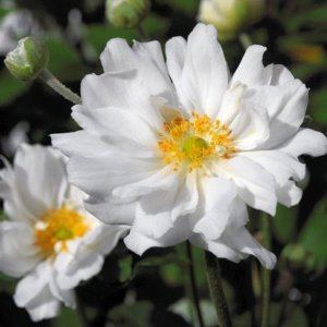anemone hybrida whirlwind