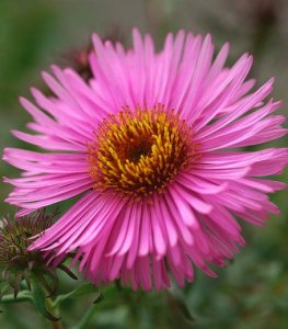 aster barr's pink
