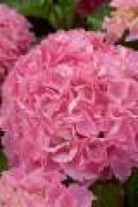 hydrangea big data pink