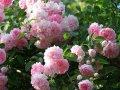 rosa dorothyperkins