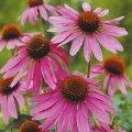 echinacea magnus