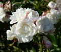 rosa galatea