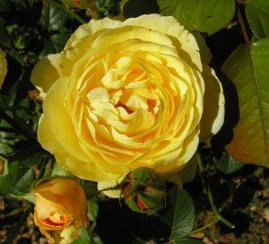 rosa gene tierney