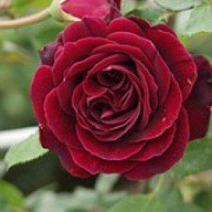 rosa guinee