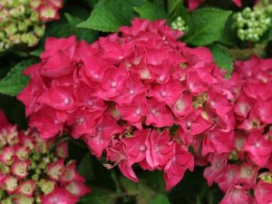 hydrangea hot red