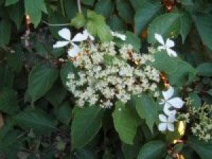 hydrangea petiolaris cordifolia