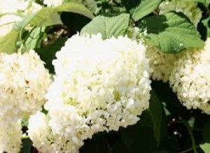 hydrangea samantha