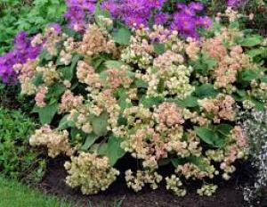 hydrangea involucrata hortensis