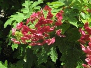 hydrangea quercifolia amethyst