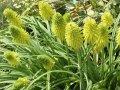 kniphofia limelight