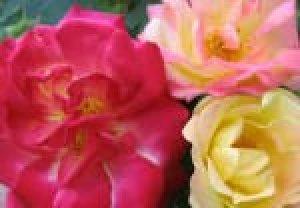 rosa masquerade clg