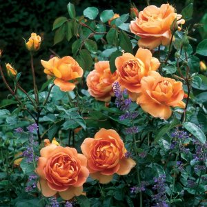 rosa pat austin
