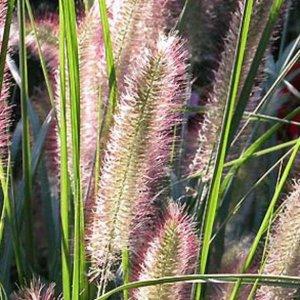 pennisetum herbstzauber