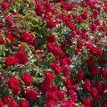 rosa prodige ecarlate